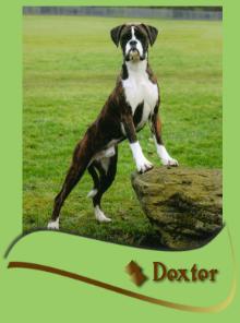 Barbarossa Boxer Dogs for stud Boxer breeder puppies Durham